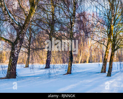 A clump of bare winter trees on snow-covered ground in Wiltshire. - Stock Photo