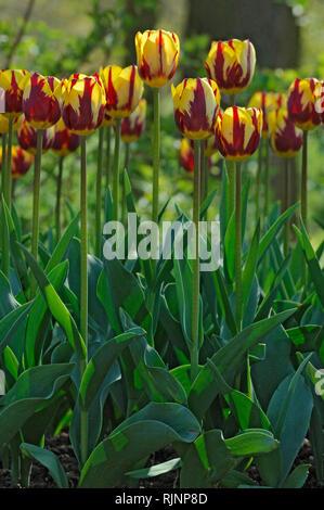 Tulip 'Helmar' in bloom in a garden - Stock Photo