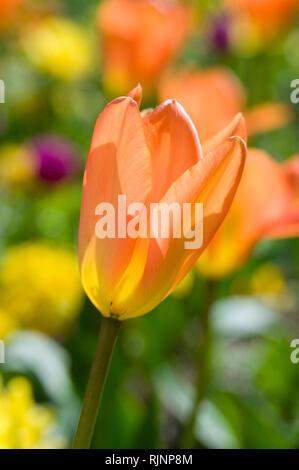Foster tulip 'Orange Emperor' in bloom in a garden - Stock Photo