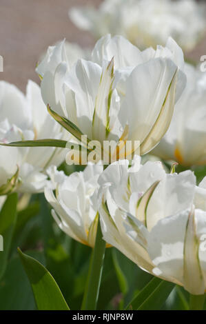 Foster tulip 'Exotic Emperor' in bloom in a garden - Stock Photo