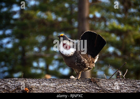 Male dusky (blue) grouse during mating season in spring. Purcell Mountains in the Kootenai National Forest, Montana. - Stock Photo