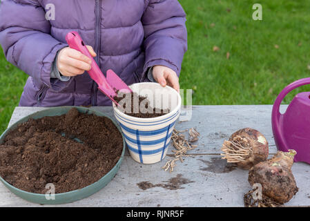 Plantation step by step of Amaryllis by a little girl - Stock Photo