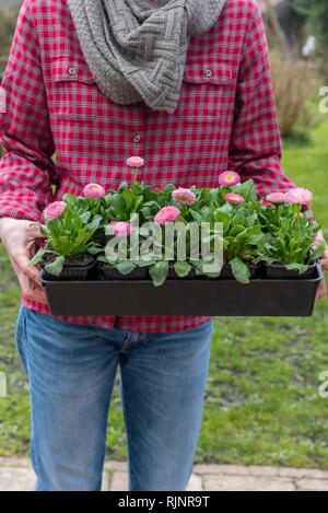 Woman carrying Lawndaisies (Bellis perennis) in bucket, before planting, spring, Pas de Calais, France - Stock Photo
