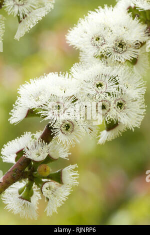 Alpine snow gum (Eucalyptus pauciflora subsp. niphophila) - Stock Photo
