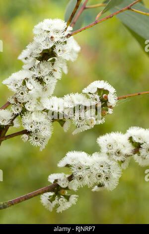 Alpine snow gum (Eucalyptus pauciflora subsp. niphophila) - Stock Photo