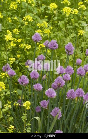 Chives (Allium schoenoprasum) et black mustard (Brassica nigra) - Stock Photo