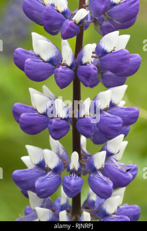 Lupine (Lupinus polyphyllus) - Stock Photo