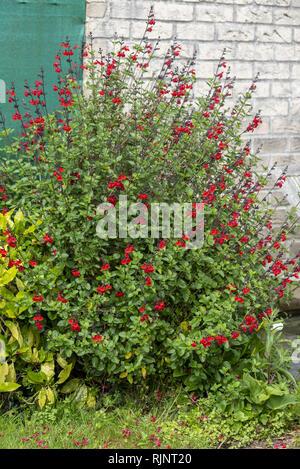 Shrubby sage in bloom in a garden, spring, Pas de Calais, France - Stock Photo