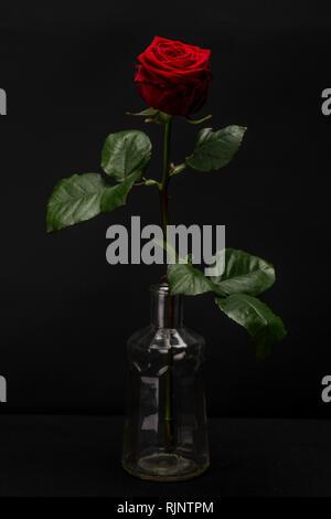 Dark Red Rose Isolated against Black - Stock Photo
