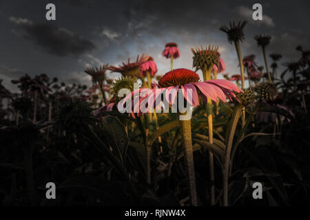 Cone Flower In Field With Sky Background - Stock Photo