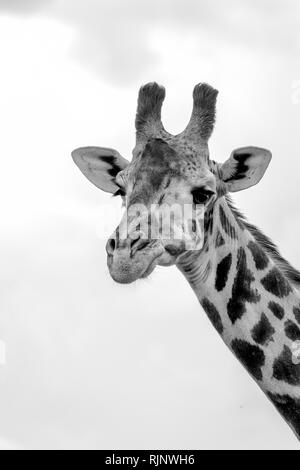 Single giraffe portrait shown in black and white - Stock Photo