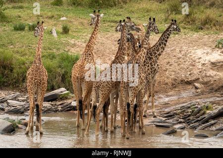 Giraffe herd crossing river in Masai Mara - Stock Photo