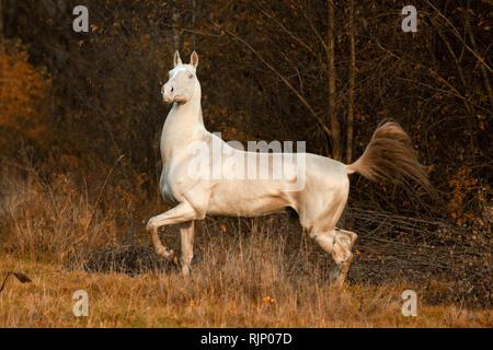 Proud cremello akhal teke stallion trots in the autumn forest - Stock Photo