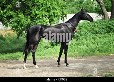 Black young akhal teke horse exterior photo with decoration on the neck on the green background. Horizontal, side view, - Stock Photo