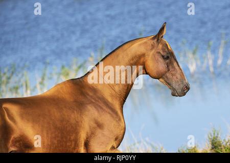 Golden buckskin Akhal-Teke horse stands in the sunlight near water. Horizontal,portrait,sideview. - Stock Photo