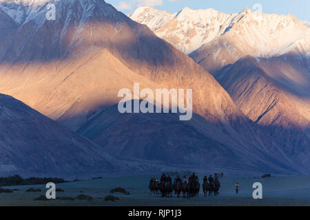 Tourists riding bactrian camels in the beautiful sunset scenery in the area of sand dunes near Hunder, Nubra Valley, Ladakh, Jammu and Kashmir, India - Stock Photo
