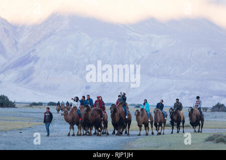 Tourists riding bactrian camels in the area of Hunder, Nubra Valley, Ladakh, Jammu and Kashmir, India - Stock Photo