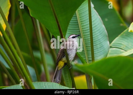 Yellow-vented Bulbul [Pycnonotus goiavier] - Stock Photo