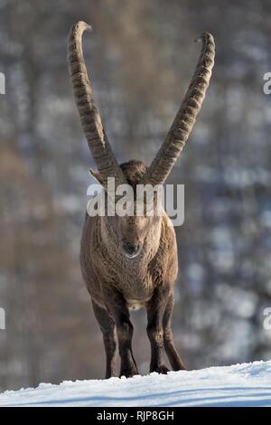 The king of the Alps mountains, portrait of Alpine ibex (Capra ibex) - Stock Photo