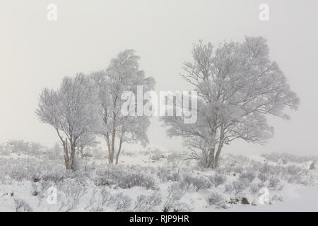 Silver Birch trees covered in frost on a misty day in winter. Loch Ba, Rannoch Moor, Highland, Scotland - Stock Photo
