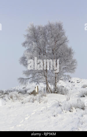 Silver Birch tree covered in frost with snow on the ground in winter. Loch Ba, Rannoch Moor, Highland, Scotland - Stock Photo