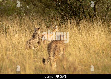 Female mother Cheetah (acynonyx jubatus) teaching her cub to hunt an impala fawn in the Masai Mara in Kenya - Stock Photo