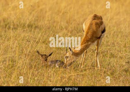 Thomson's gazelle Eudorcas thomsonii giving birth in the masai mara in  Kenya - Stock Photo