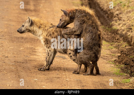 Unusual sighting of two spotted  hyaenas Crocuta crocuta mating in the mara triangle in the masai mara in Kenya - Stock Photo