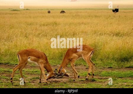 Two male impalas Aepyceros melampus rutting fighting in the masai mara in kenya - Stock Photo