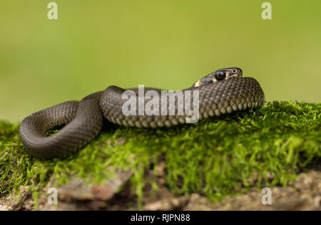 Wildlife photo of grass snake in Czech Republic - Stock Photo