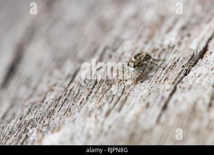 Wildlife macro photo of jumping spider - Stock Photo