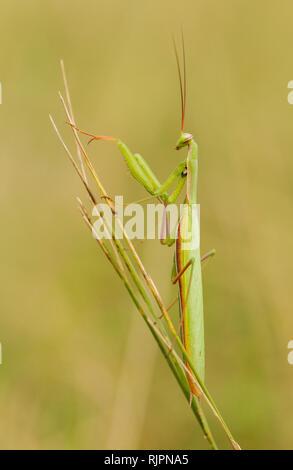Wildlife macro photo of praying mantis - Stock Photo