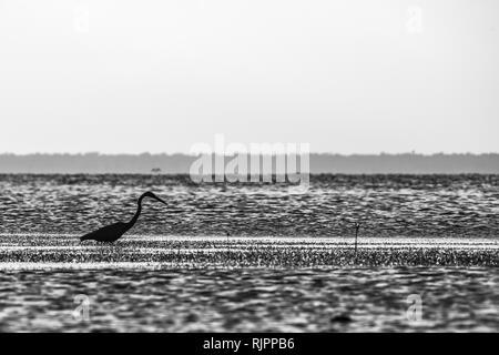 Grey Heron (Ardea cinerea), San Carlos, Baja California Sur, Mexico - Stock Photo