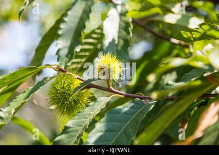 Sweet chestnut (castanea sativa), close up - Stock Photo