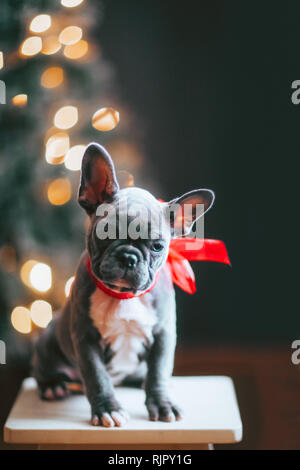 Young French Bulldog wearing red bow for Christmas - Stock Photo