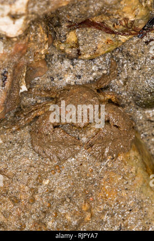 A Broad-clawed porcelain crab, Porcellana platycheles, hiding under a stone at low water in Portland Harbour Dorset. The crabs are quite small with a  - Stock Photo
