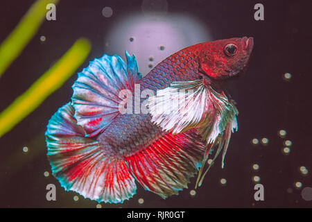 Close-up and details of a Dumbo Ear Betta Fish - Stock Photo