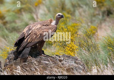 Group of Griffon Vulture (Gyps fulvus) perched on rocks with yellow flowers - Stock Photo
