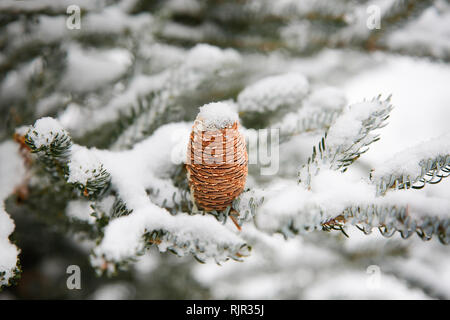 Caucasian fir in winter with a beautiful cone - Stock Photo