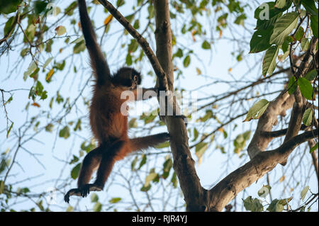 Geoffroy's spider monkey (Ateles geoffroyi) in Corcovado National Park, Costa Rica - Stock Photo