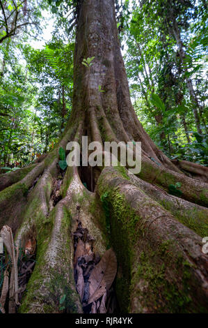 Tree with butress roots in Costa Rican rainforest - Stock Photo