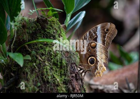 Yellow-edged Giant Owl (Caligo atreus) butterfly in tropical rainforest, Costa Rica - Stock Photo