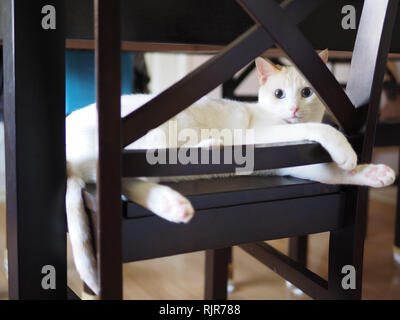 Mitzie the flame point Siamese chilling on the chair - Stock Photo
