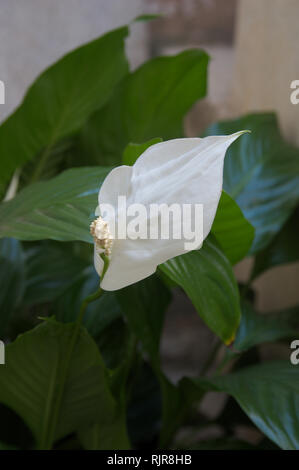 Flower of indoor lily plant of peace with its green and large leaves as background - Stock Photo
