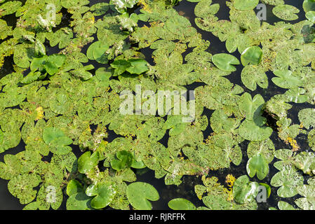 Water Lily leaves eaten by the lily of the water lily, Summer, Moselle, France - Stock Photo