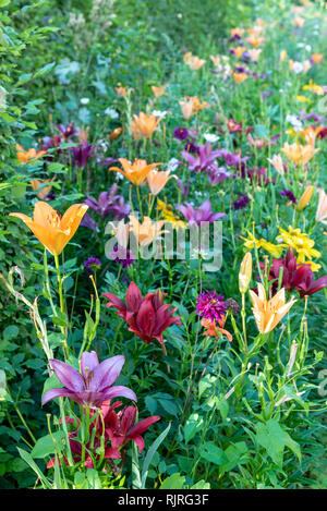 Massif of lily in bloom in a garden, summer, Moselle, France - Stock Photo
