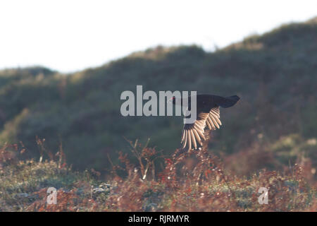 Stunning image of a red grouse flying with sun illuminating its feathers - Stock Photo
