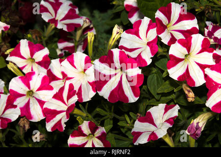 Morning glory flowers - Stock Photo
