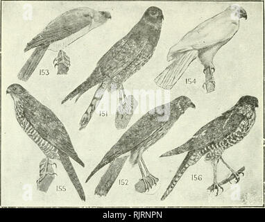 . An Australian bird book : a pocket book for field use. Birds -- Australia Identification. AN AUSTRALIAN BIRD BOOK.. ORDER XV.—ACCTPITRIFORMES, DIURNAL BIRDS OF PREY. F. 66. Scrpentariidae, Secretary-Bird, 2 sp. E. F. 67. Vultvridae, Vultures, 17 sp.—8(5)0., 6(0)P., 9(5)E. F. 68. FALCONIDAE (29), HARRIERS, GOSHAWKS, EAGLES, FALCON, etc., 485 sp.—99(86) A., 106(58)0., 70(19)P., 118(91)E., 53(17)Nc, 144(112)N1. 2 151 Spotted Harrier (Jardine), Spotted Swamp-Hawk, 18 Circus assimilis, Cel. to A., T. Stat. c. plains 22 therefore, much like the Eagles of another. The Harriers of Eng- land are prac - Stock Photo