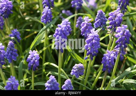 Blue grape hyacinth flowers - Stock Photo